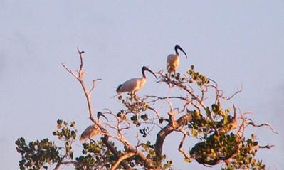 Bouquet d'ibis